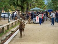 (春日大社の神鹿が歩き回る)奈良公園 Nara Park
